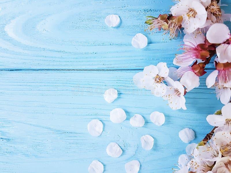 Kirschblüte sich verzweigt möglicherweise Frühjahr auf blauem hölzernem Hintergrund lizenzfreies stockfoto