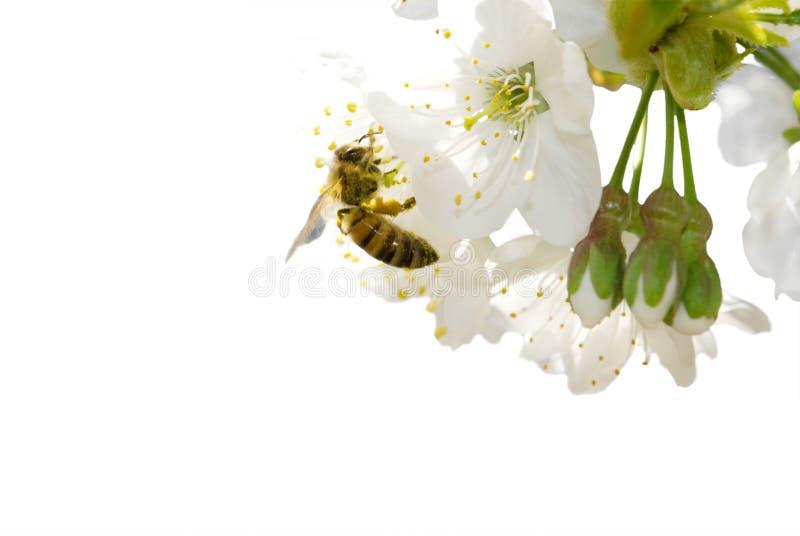 Kirschblüte und -biene stockfoto