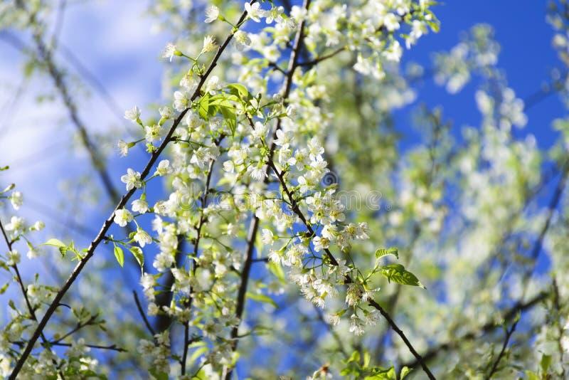 Kirschblüte-Weiß stockfotografie