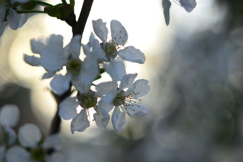 Kirschblüte, weiße Blumen, russischer Frühling, schöner Hintergrund stockbild