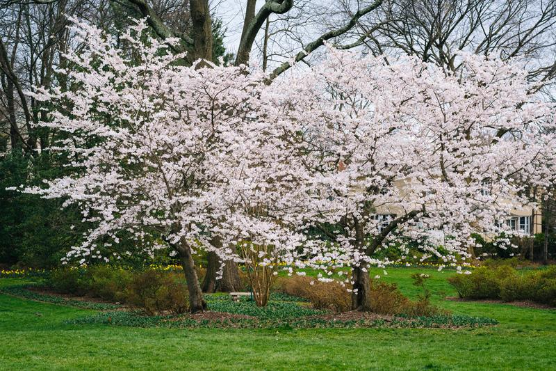 Kirschblüten bei Sherwood Gardens Park, in Baltimore, Maryland stockbild