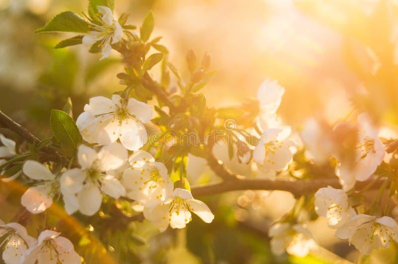 Kirschblüten in den hellen warmen Strahlen der Frühlingssonne mit Weinleseartefakten Das Konzept der Ankunft des Frühlinges und d stockfotos