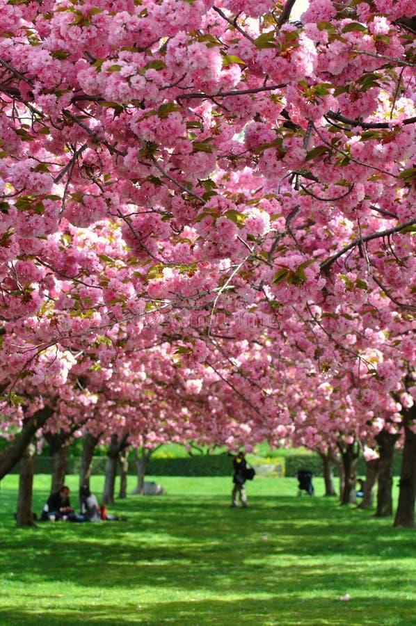 Kirschblüten in den New- Yorkbotanischen Gärten stockfoto