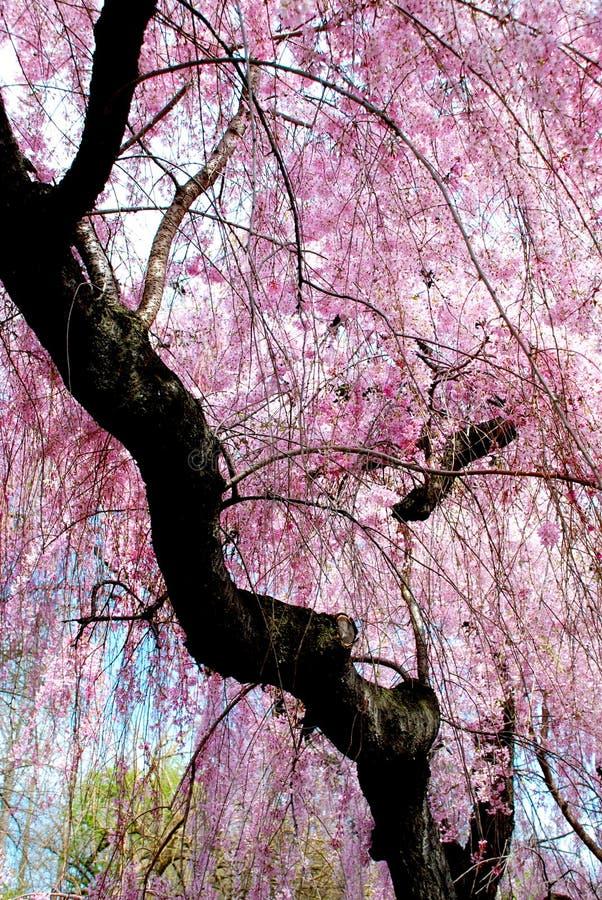 Kirschblüten-Dusche stockbilder