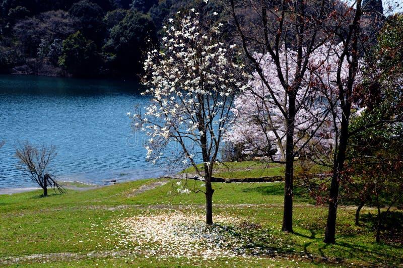 Kirschblüten entlang dem Verdammungssee/dem japanischen Frühling lizenzfreies stockfoto