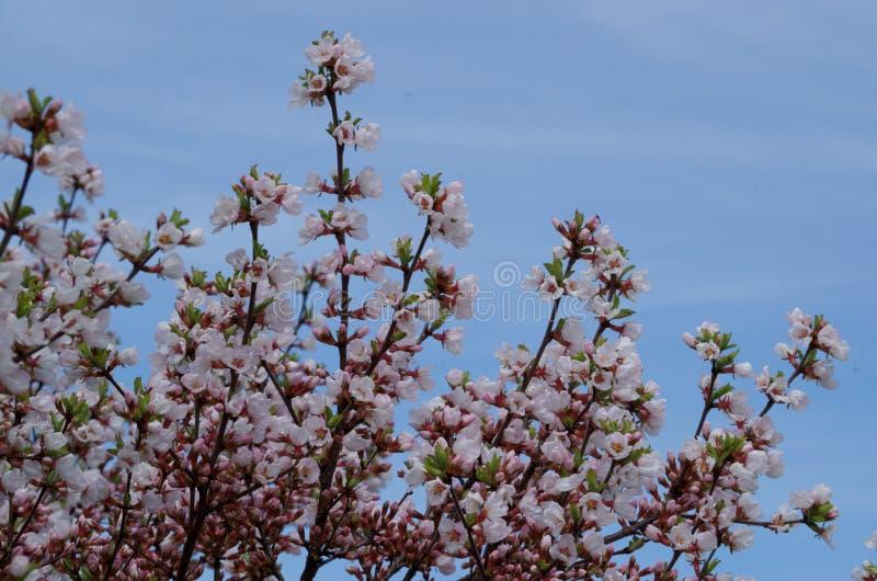 Kirschblüten mit Hintergrund des blauen Himmels lizenzfreie stockfotografie