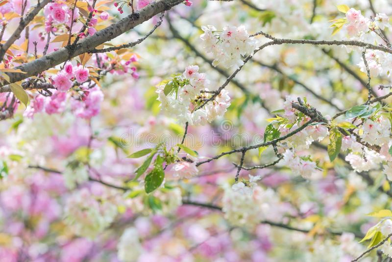 Kirschblütenbäume in China lizenzfreie stockbilder