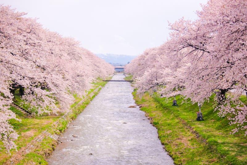 Kirschblütenbäume oder -kirschblüte entlang der Bank von Funakawa-Fluss in der Stadt von Asahi in Toyama Japan lizenzfreie stockfotos