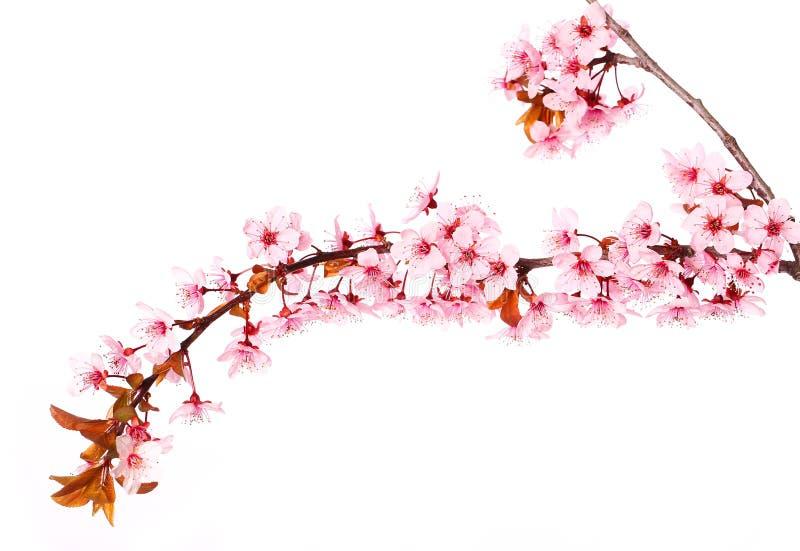 Kirschblütenisolat auf Weiß Kirschblüte Schöne rosa Blumen lizenzfreie stockfotos