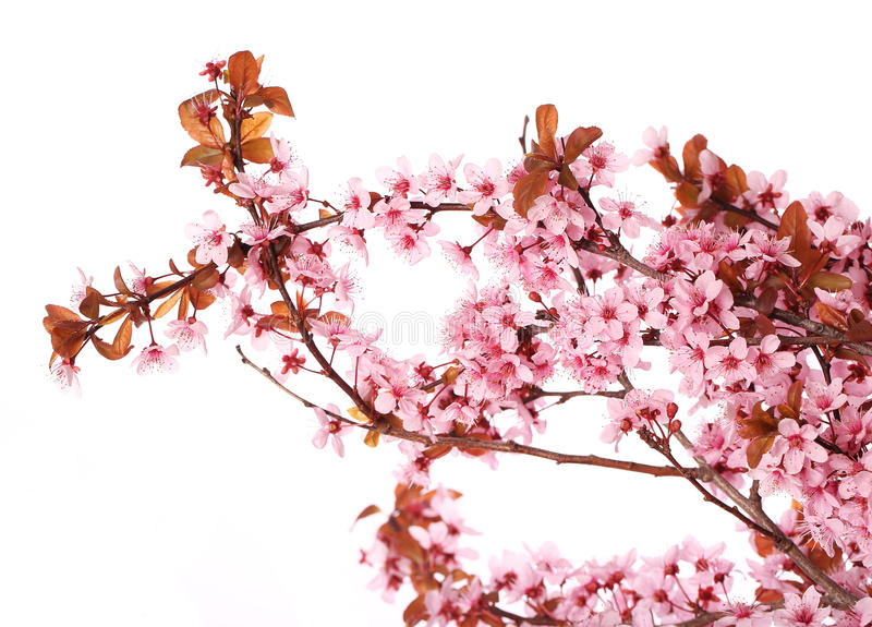 Kirschblütenisolat Kirschblüte Schöne rosa Blumen lizenzfreie stockbilder