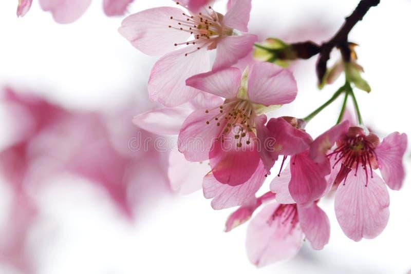 Kirschblütenisolat mit weißer Farbe lizenzfreie stockbilder