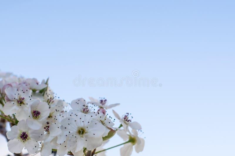 Kirschblütenmakro lizenzfreies stockfoto