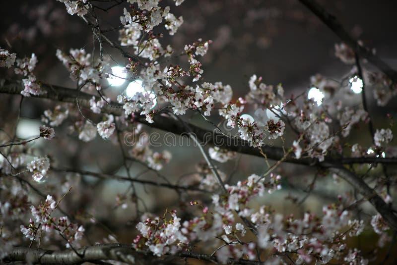 Kirschblütenniederlassungen in einem Park in Tokyo stockbilder
