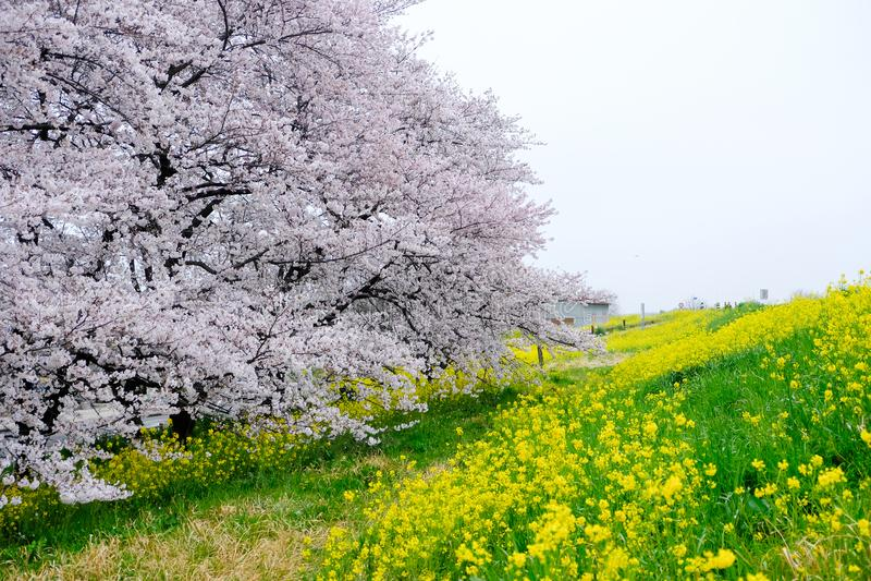 Kirschblütentunnel und Felder des gelben blühenden nanohana bei Kumagaya Arakawa Ryokuchi parken in Kumagaya, Saitama, Japan Auch lizenzfreie stockfotos