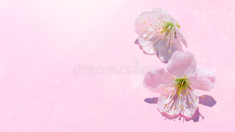 Kirschbl?te-Bl?te auf rosa Pastellhintergrund, Fr?hlingsblumen stockbild