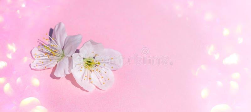 Kirschbl?te-Bl?te auf rosa Pastellhintergrund, Fr?hlingsblumen stockfotografie