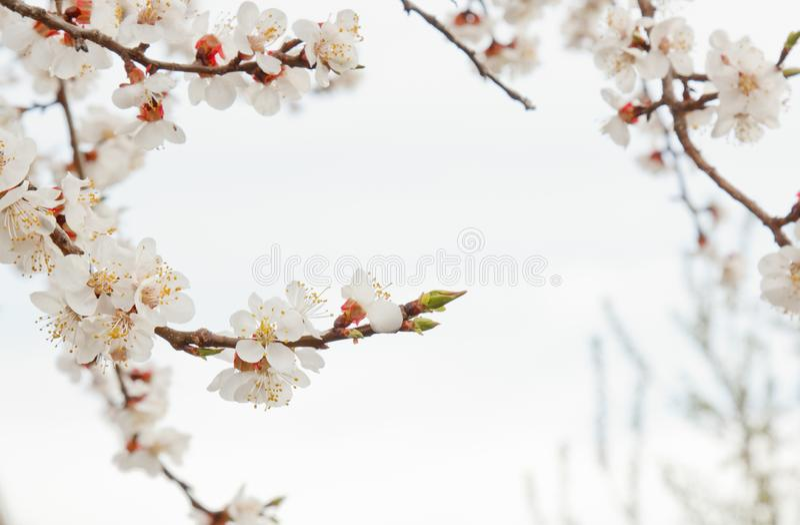 Kirschbl?te im Dorf gegen den wei?en Himmel Fr?hlingslandschaft, die Wiederbelebung der Natur Wei?e Blumen auf einem Obstbaum lizenzfreies stockfoto