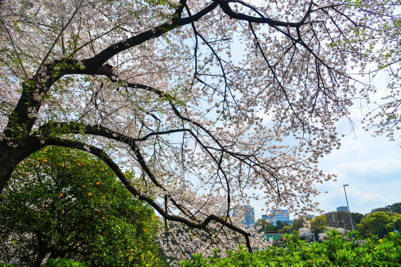 Kirschbl?te in Tokyo, Japan lizenzfreie stockfotografie