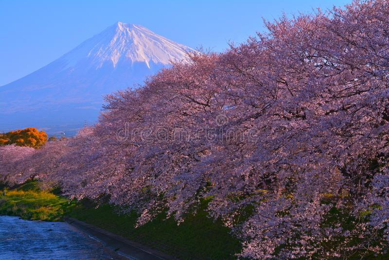 Kirschbl?ten in voller Bl?te und Mt Fuji in Fuji-Stadt Japan lizenzfreie stockbilder