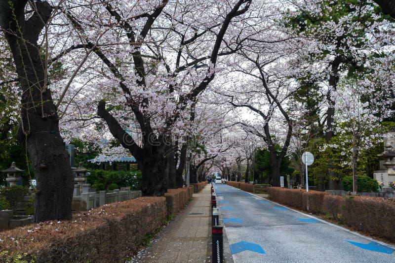Kirschbl?tenfestival bei Aoyama Cemetery Aoyama Cemetery ist eine popul?re Stelle w?hrend der Fr?hlings-Saison lizenzfreies stockfoto