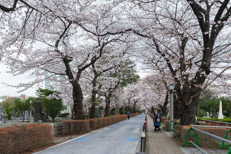 Kirschbl?tenfestival bei Aoyama Cemetery Aoyama Cemetery ist eine popul?re Stelle w?hrend der Fr?hlings-Saison lizenzfreie stockfotografie