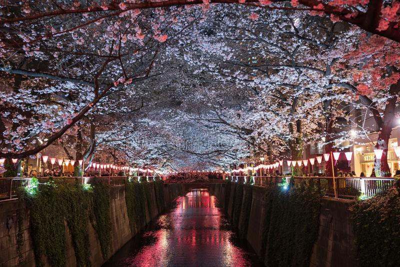 Kirschbl?tenfestival in Meguro-Fluss Meguro-Fluss ist eine popul?re Stelle w?hrend der Fr?hlings-Saison stockfotos