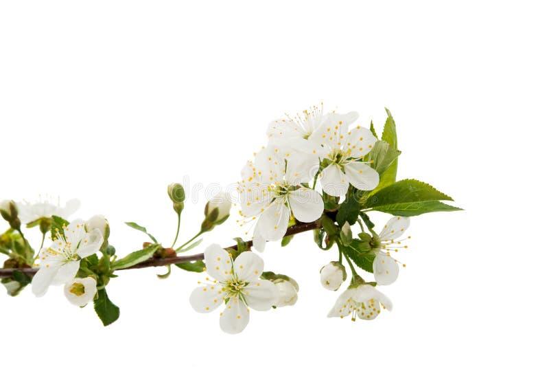 Kirschblume lokalisiert lizenzfreie stockfotografie