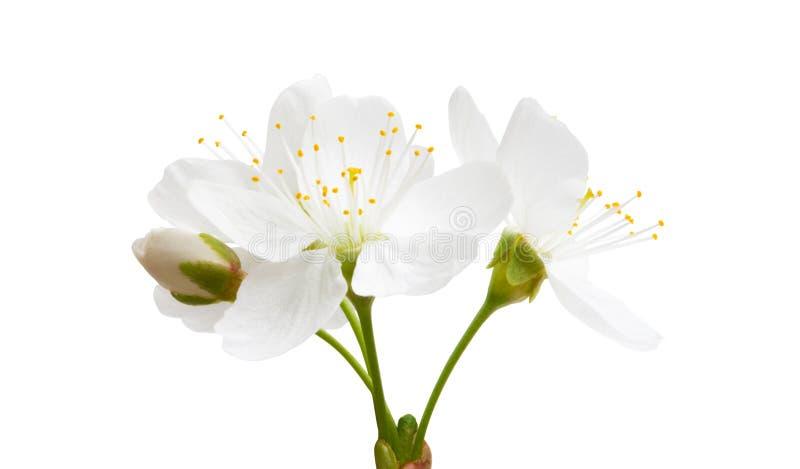 Kirschblume lokalisiert lizenzfreies stockbild