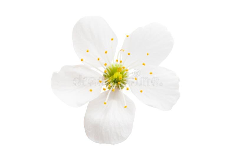 Kirschblume lokalisiert lizenzfreies stockfoto