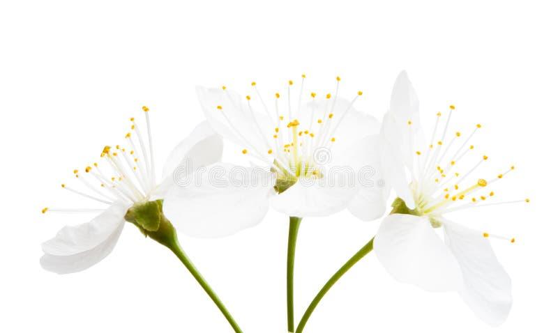 Kirschblume lokalisiert lizenzfreie stockfotos