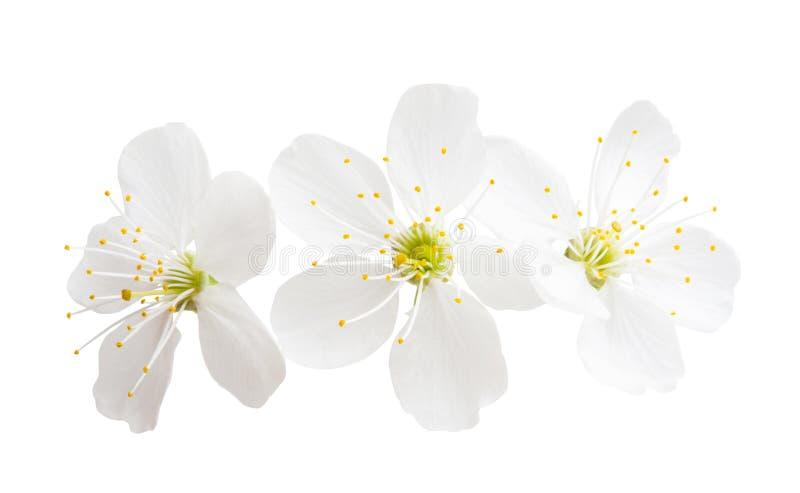 Kirschblume lokalisiert stockfotografie
