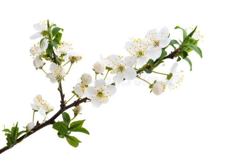 Kirschblume lokalisiert stockbild