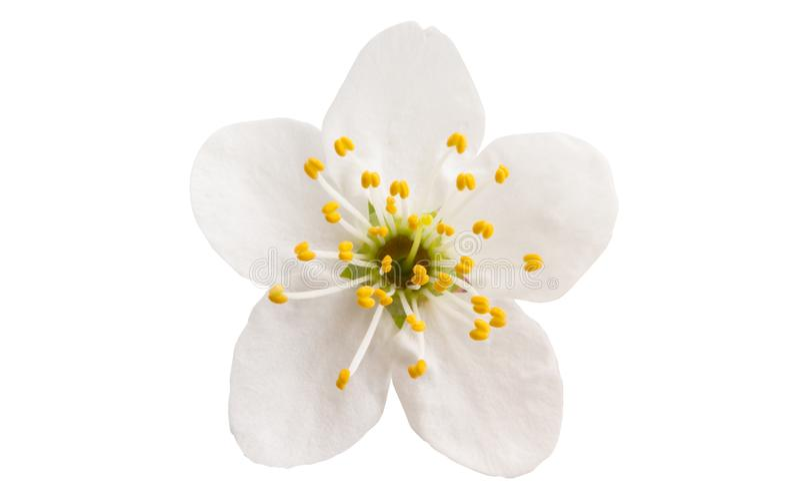 Kirschblume lokalisiert lizenzfreie stockbilder