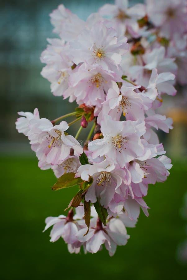 Kirschblumen auf einer Zeit der Kirschbaumniederlassung im Frühjahr lizenzfreie stockfotos