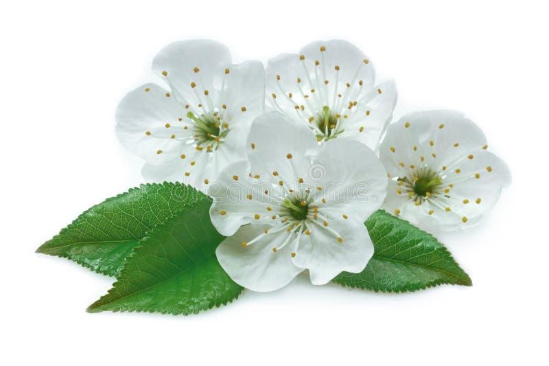 Kirschblumen und -blätter lokalisiert lizenzfreies stockbild