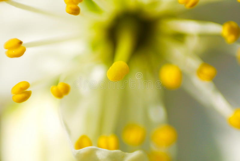 Kirschblumenblattauszug stockfotos