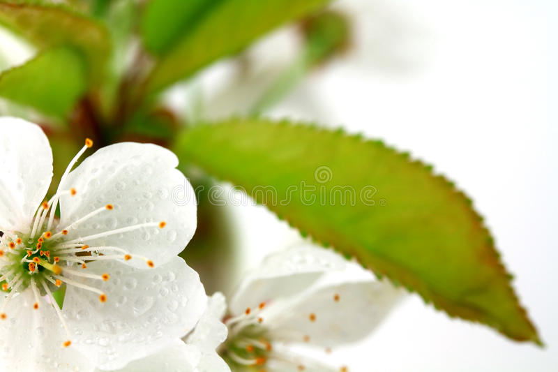 Kirsche-bloboms stockbild