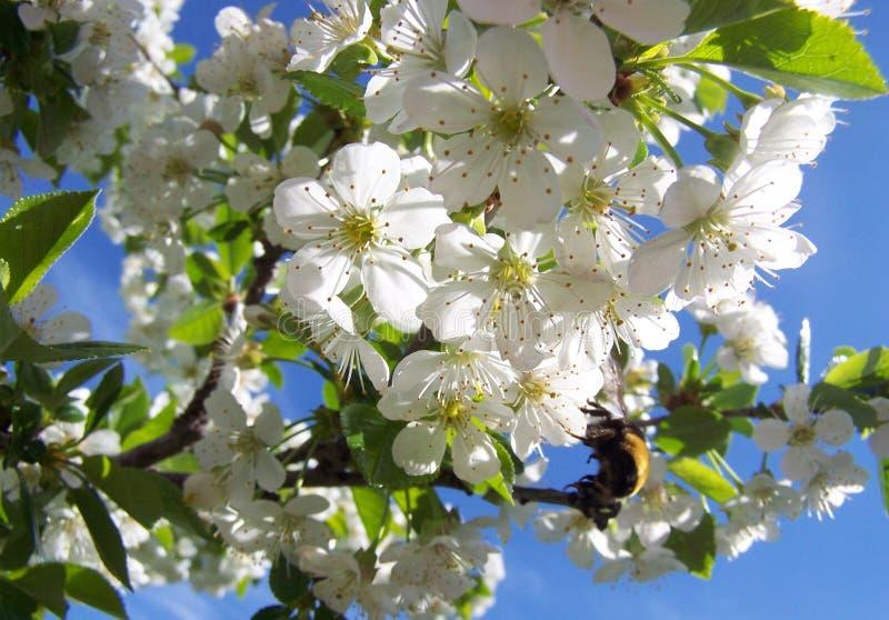 Kirsche-blosooms und eine Biene stockfotos