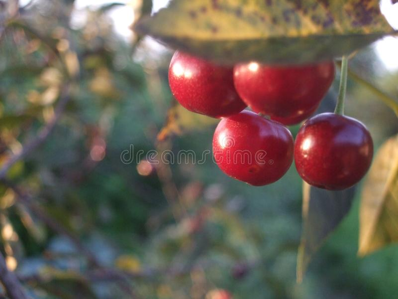 Kirsche-bunces morgens Fruchtgarten stockfotos