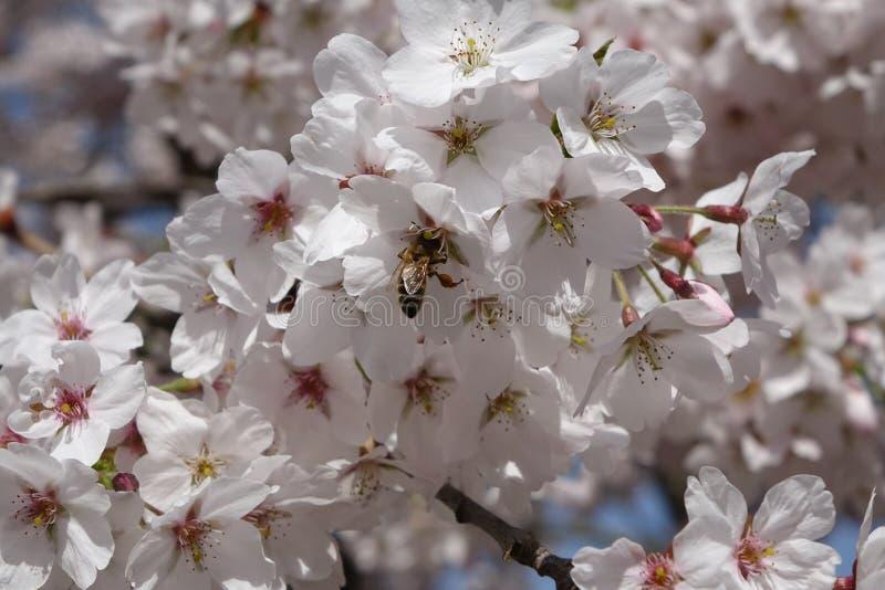 Kirsche und eine Biene lizenzfreie stockbilder