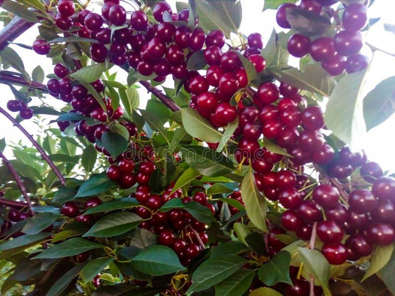 Kirschen auf der Niederlassung des Baums lizenzfreie stockfotografie