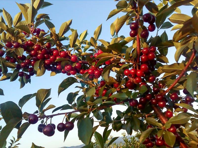 Kirschen auf der Niederlassung des Baums stockbild
