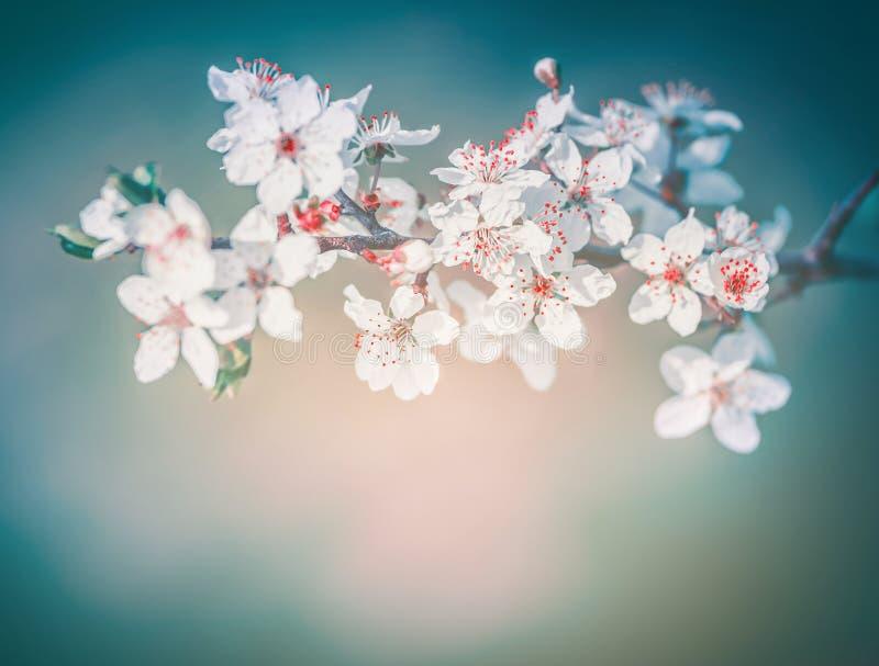 Kirschfrühlingsblüte, Weiße Blumen Blühen Mit Den Roten ...