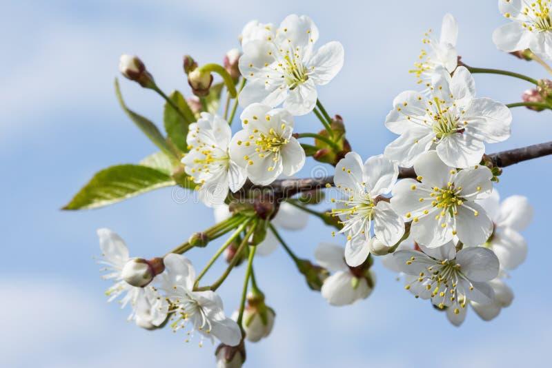 Kirschnähe Schönes Frühjahrsfoto auf einem Hintergrund des blauen Himmels lizenzfreie stockfotografie