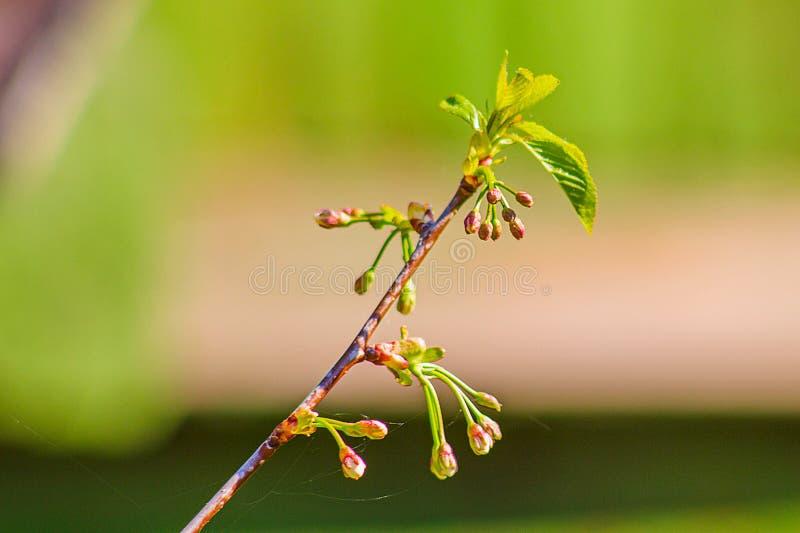 Kirschniederlassung mit den Blumenknospen stockfotos