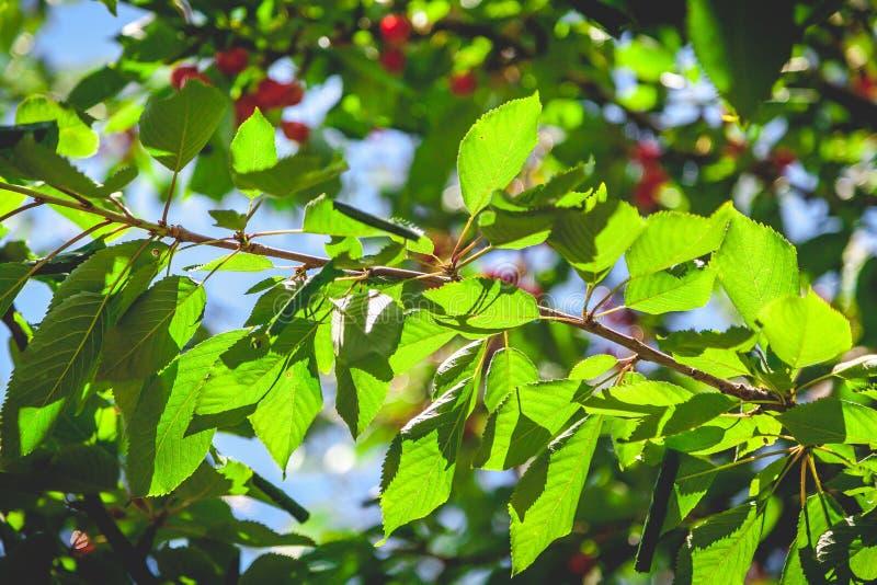 Kirschniederlassung mit saftigen grünen Blättern stockfotografie