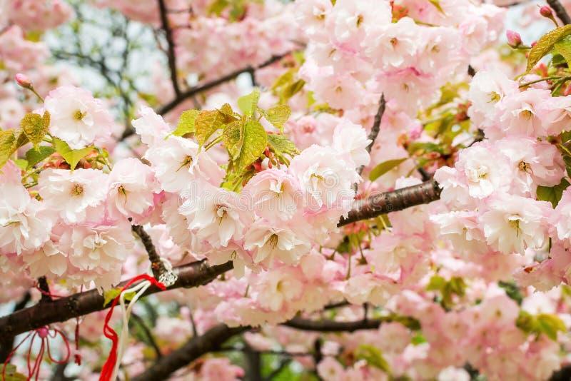 Kirschniederlassungen, die mit ?ppigen rosa Blumen an einem regnerischen Fr?hlingstag bl?hen Nahaufnahme von Kirschbl?te-Blumen m lizenzfreies stockbild