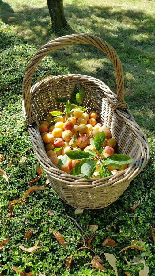Kirschpflaumen im Weidenkorb lizenzfreies stockbild