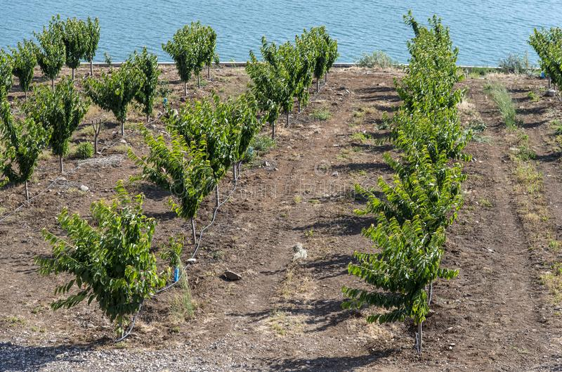 Kirschplantage neben Wasser lizenzfreie stockfotografie