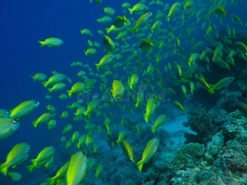 kirurg för skola för korallfiskrev arkivfoton